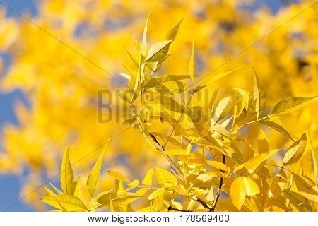 yellow leaves on the tree against the blue sky