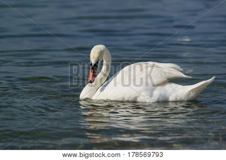 Single white adult mute Swan (lat. Cygnus olor) is a bird of the duck family with a wet beak on the blue water