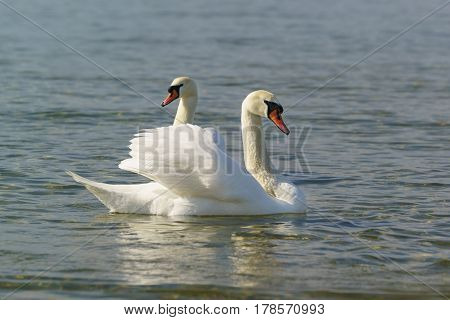 Beautiful pair of adult white swans mute (lat. Cygnus olor) is a bird of the duck family floating on the water in the Black sea