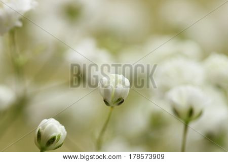 Close up of baby's breath small white buds with copy space.