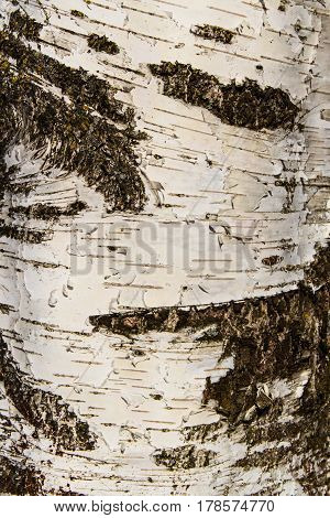 Close-up of the birch bark texture background. Vertical composition.