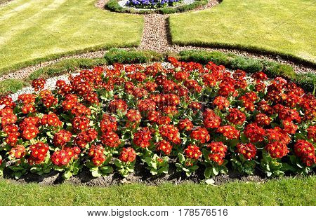 Polyanthus red Pacific Giants in a flowerbed