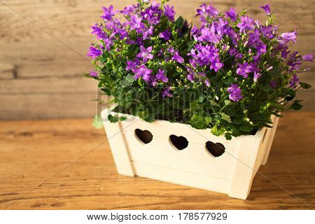 Amazing campanula flowers in the flowerpot on wooden background.