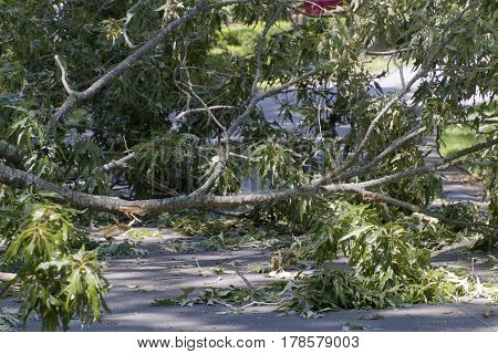 A living oak tree brought down by a summer storm lies broken in pieces across a narrow street