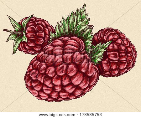 Engrave raspberry hand drawn graphic illustration art