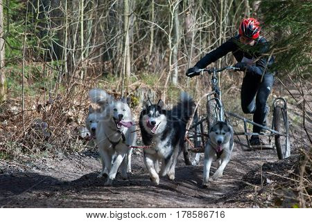 Kaliningrad Russia March 26 2017 local bikejoring and canicross championship. Scooter driver musher with huskies