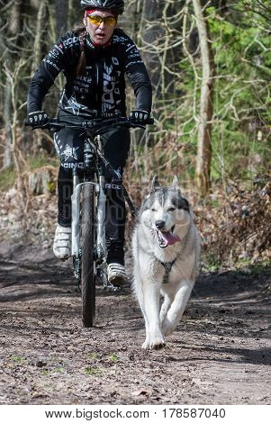 Kaliningrad Russia March 26 2017 local bikejoring and canicross championship. Cyclist musher with husky