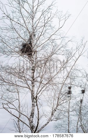 Empty bird's nest in branches of birch tree in March, arrival of spring in the country