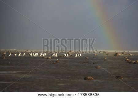Large group of Gentoo Penguins (Pygoscelis papua) gathered on a beach under a stormy sky and rainbow, before going out to sea to feed. Sealion Island in the Falkland Islands.
