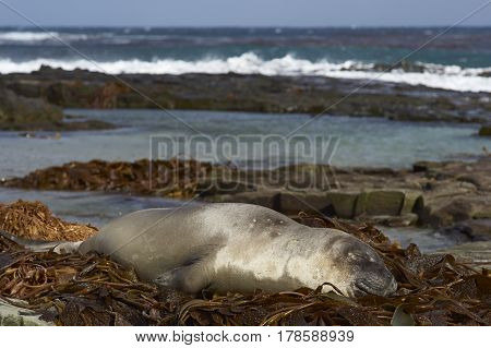 Young Southern Elephant Seal (Mirounga leonina) sleeping on a pile of kelp on a beach on Sealion Island in the Falkland Islands.