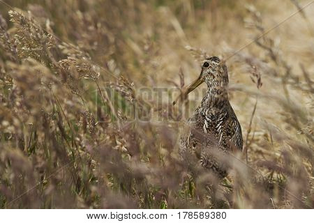 Magellanic Snipe (Gallinago paraguaiae magellanica) partially hidden in a grassy meadow on Sealion Island in the Falkland Islands.