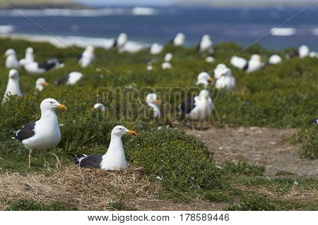 Breeding colony of Kelp Gull (Larus dominicanus) nesting on a grassy meadow on Sealion Island in the Falkland Islands.