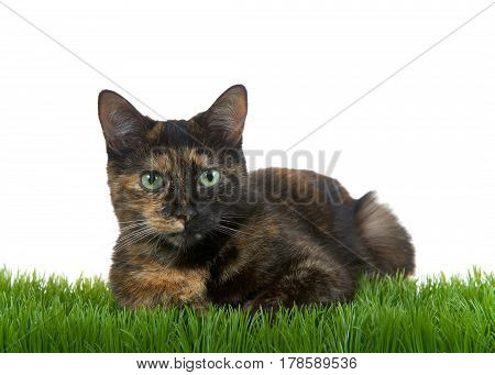 Tortie Torbie tabby cat laying in green grass isolated on white background looking at viewer. Copy space