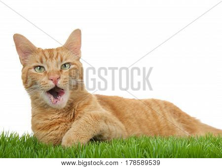 Orange ginger tabby cat laying in green grass isolated on a white background. Mouth open tongue out to side with eyes wide open looking directly at viewer.