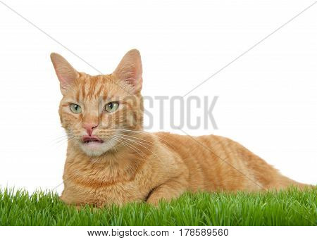 Orange ginger tabby cat laying in green grass isolated on a white background. Sticking tongue out looking to viewers left