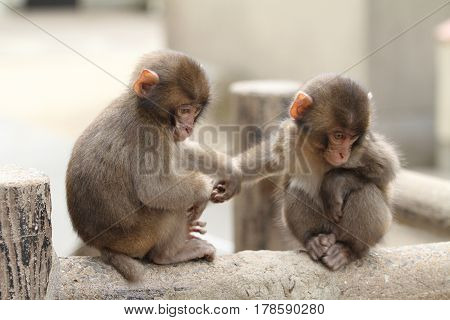 Wild Japanese Baby Monkey In Beppu, Oita, Japan