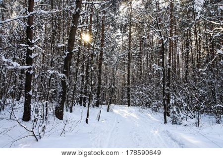 Sunlight in snow winter forest. january. Belarus