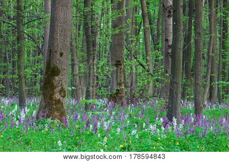 Forest landscape with the first spring flowers. Cloudy day