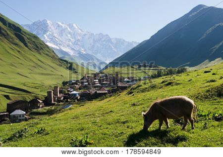 Summer mountain landscape with a snowy peak. Old village with medieval towers. Piglet grazes on a green hill. Ushguli community. View of Shkhara Mount. Main Caucasian ridge, Zemo Svaneti, Georgia