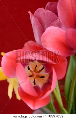 Spring Flowers Banner - Bunch Of Red Tulip Flowers On Red Background