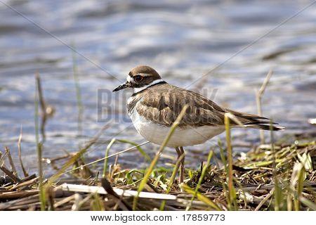Small Shorebird.