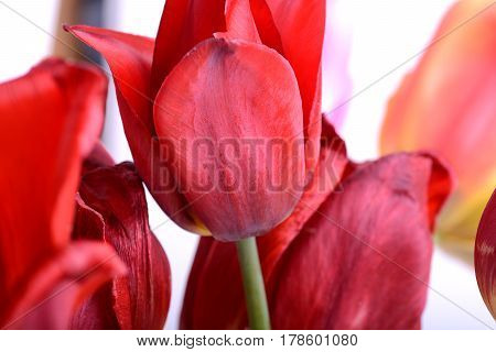 Beautiful Flowers Background. Closeup And Amazing View Of Growing Red Tulips Flower