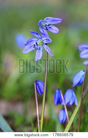 nice  first spring blue flowers