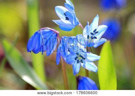 Nice spring flowers macro shoot in forest - scilla bifolia