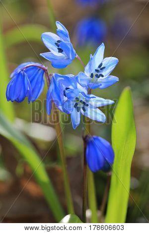 nice spring scilla bifolia flowers in forest