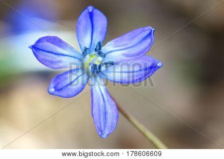 scilla bifolia flower - macro shoot
