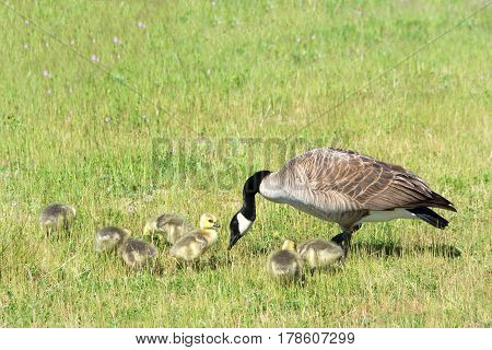 Mother Canada Goose with goslings hunting for food in a field of grass and wild flowers.