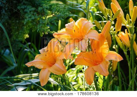 Orange Flower Of Hemerocallis In The Summer Garden.