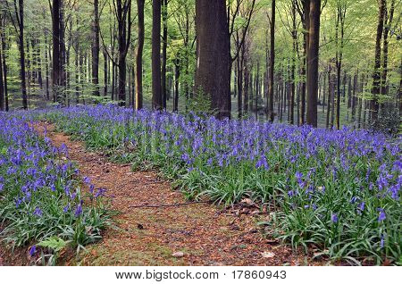 Sea of blue hyacinths