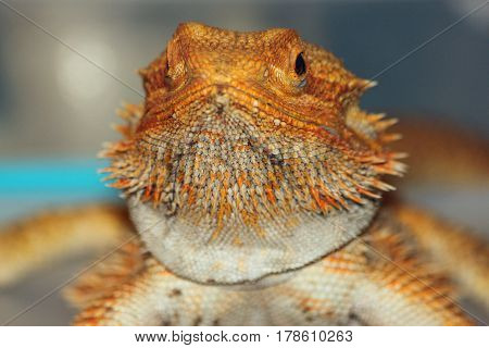 Closeup of a Golden Bearded Dragon at the fair