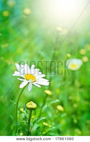Perfect Daisy And Sun