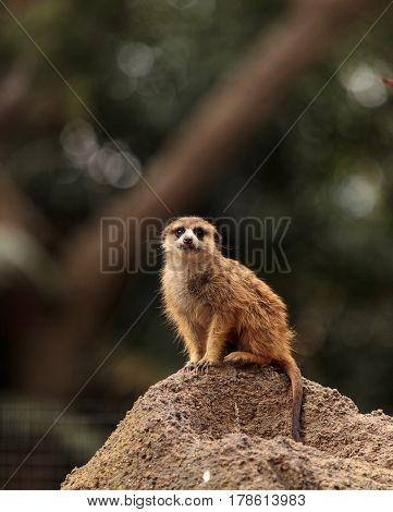 Meerkat , Suricata Suricatta