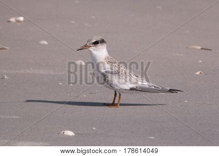 A juvenile Least Tern, Sternula antillarum on sand near the shoreline in Florida