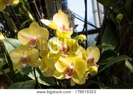 Yellow phalaenopsis orchids blooming in the garden