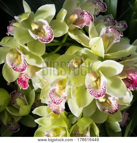 Grand Yellow Boat Orchids