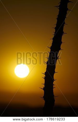 Morning sunrise over desert with ocotillo silhouette