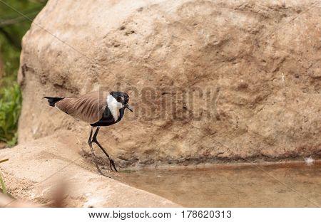Spur-winged Lapwing Bird Called Vanellus Spinosus