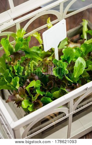 Detail of fresh salad in greenhouse