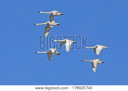 Tundra Swans ( Cygnus columbianus ) flying in a clear blue winter sky
