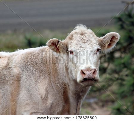 Closeup of a White Cow Down on the Farm