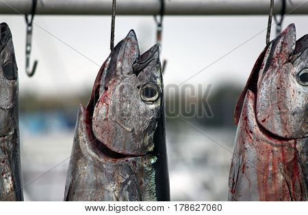 Freshly Caught Fish Hanging at the Dock