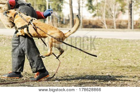 Training of working dog outdoors, motion blur