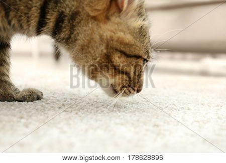 Grey tabby cat smelling beige carpet
