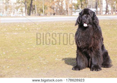 Black Newfoundland dog outdoors