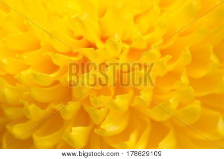 yellow chrysanthemum flower as a background. close