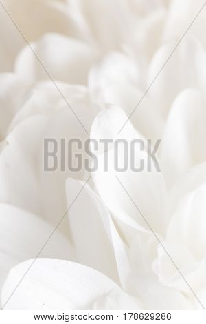 white flower peony as the background . Photo texture